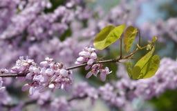 Closeup flowers of judas tree Royalty Free Stock Photo