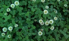 Closeup of flowers and leaves of white creeping clover. stock image