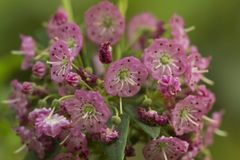 Pink flowers of sheep laurel in Vernon, Connecticut. Closeup of flowers of sheep laurel, Kalmia angustifolia, in springtime at Valley Falls Park in Vernon stock photography