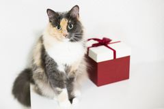 Closeup, fluffy colored cat sitting on the cupboard next to red gift box of present for birthday ,looking at you,white background stock image