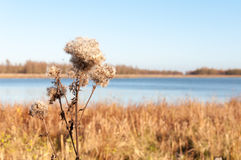 Closeup of fluffy Goldenrod seedheads Stock Photography