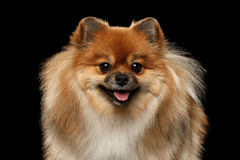 Closeup Fluffy Pomeranian Spitz Dog Looking in Camera, Black isolated Royalty Free Stock Image