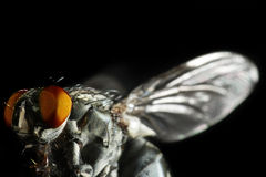 Closeup of a fly. Extreme closeup of a fly Stock Photography