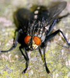 Closeup of fly Royalty Free Stock Photography