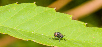 Closeup of a fly on a broad green leaf. With a blurred background Stock Photo