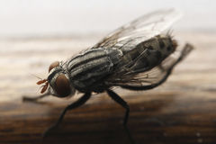 Closeup Fly Royalty Free Stock Image