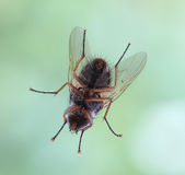Closeup of a fly Stock Images