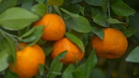 Closeup Focus Changes Mandarins among Leaves at New Year. Closeup focus changes orange mandarins hang on branches among green leaves symbolizing Vietnamese New stock video footage