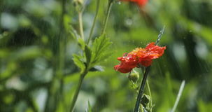 Closeup footage rain on flowers. Flowers with drop of rain water with green background stock video