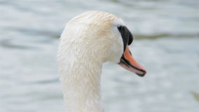 Closeup footage of a swan stock video footage