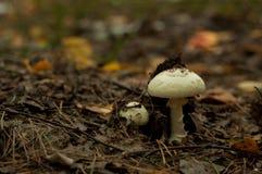 Poisonous pale mushroom royalty free stock image