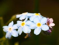 Closeup forget-me-nots flower. Macro of blue flower Stock Photography