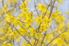 Closeup Forsythia Flowers Stock Photo
