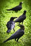 Four crow birds standing in line royalty free stock photography