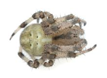 Four-spot orb-weaver, Araneus quadratus isolated on white background Royalty Free Stock Photography