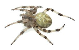 Four-spot orb-weaver, Araneus quadratus isolated on white background Royalty Free Stock Image