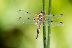 Closeup of a Four-spotted chaser on a reed. Closeup of a Four-spotted chaser - libellula quadrimaculata - on a reed, picture with shallow depth of field stock photos