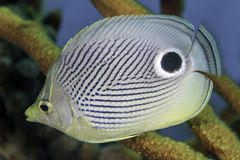 Closeup of Foureye Butterflyfish Stock Photos