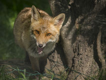 Closeup of a fox approaching Stock Photo