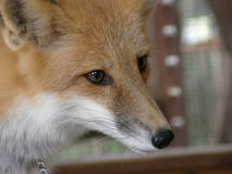 Closeup of a fox. Closeup of a red fox Royalty Free Stock Photography