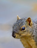 Closeup of Fox Squirrel looking toward left with copy space port Royalty Free Stock Photography