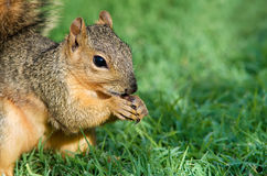 Closeup of Fox squirrel Stock Photo