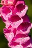 Closeup of a foxglove flower Royalty Free Stock Photo