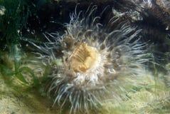 Closeup från en anemon Arkivbilder