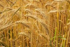 Closeup från korn i fältet Royaltyfri Fotografi