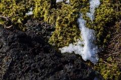 Closeup of fragile Icelandic moss Royalty Free Stock Photo