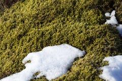 Closeup of fragile Icelandic moss Royalty Free Stock Photos