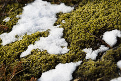 Closeup of fragile Icelandic moss Royalty Free Stock Images