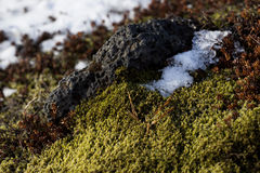 Closeup of fragile Icelandic moss Stock Images