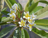 Closeup of a frangipani plumeria plant Royalty Free Stock Images