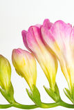 Closeup freesia Stock Images