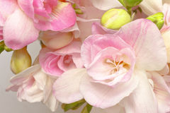 Closeup freesia flowers white pink. Close-up of white and pink freesia flowers and green buds, nostalgic and romantic setting in soft light, background Royalty Free Stock Image