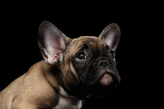 Closeup French Bulldog Puppy Pity Face Looking up, Front,  Isolated Royalty Free Stock Images