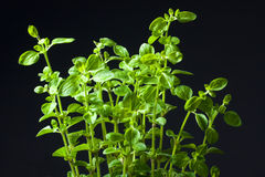 Closeup of fresh basil Stock Photos