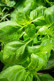 Fresh basil with dewdrop royalty free stock photo