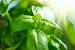Closeup of fresh basil leaves. Green flavoring outdoor. Basil in sunlight stock photography