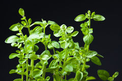 Closeup of fresh basil Royalty Free Stock Images