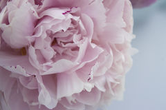 Closeup fresh bunch of pink peonies, peony flowers. Card, for wedding Stock Image