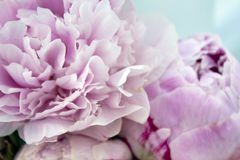 Closeup fresh bunch of pink peonies, peony flowers. Card, for wedding Stock Photos