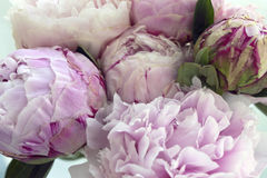 Closeup fresh bunch of pink peonies, peony flowers. Card, for wedding Royalty Free Stock Photos