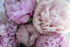 Closeup fresh bunch of pink peonies, peony flowers. Card, for wedding Royalty Free Stock Photo