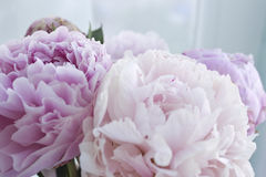 Closeup fresh bunch of pink peonies, peony flowers. Card, for wedding Royalty Free Stock Photography
