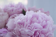 Closeup fresh bunch of pink peonies, peony flowers. Card, for wedding Royalty Free Stock Images