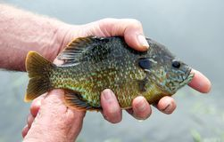 Closeup of a fresh caught Bluegill. Closeup of a Bluegill with a freshwater lake background royalty free stock photography