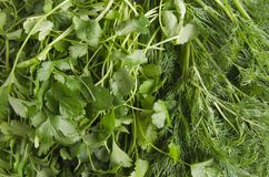 Closeup of fresh cilantro and dill,different herbs and tastes stock image
