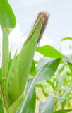 Closeup of the fresh corn Royalty Free Stock Images